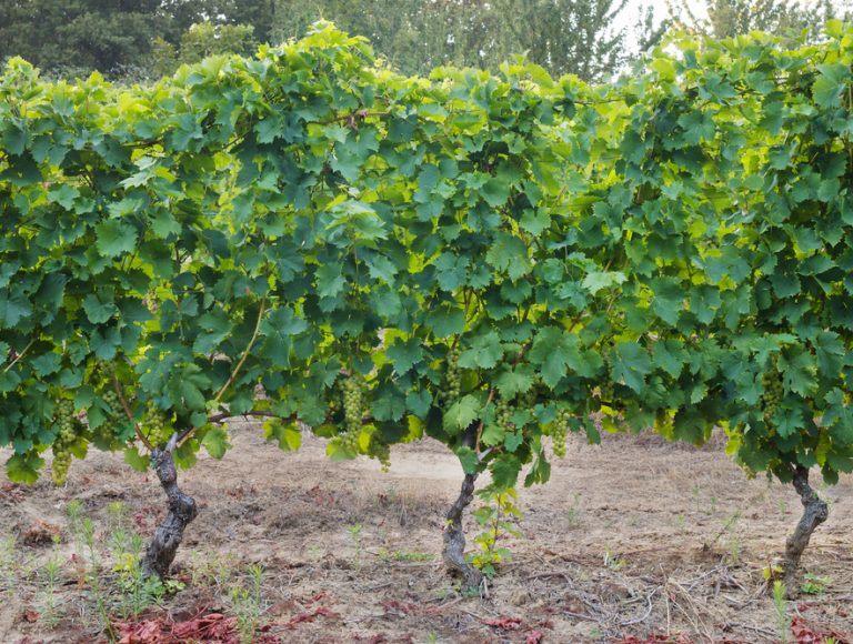 moscato d asti vigne