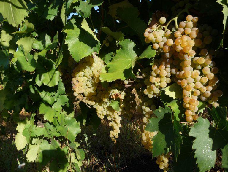 passerina del frusinate vitigno