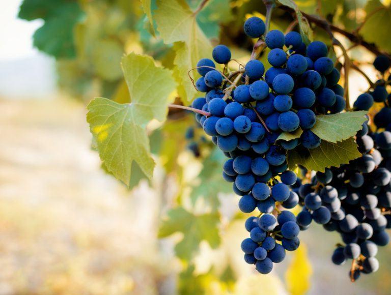 vigne barbaresco
